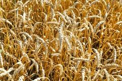 Orecchie della fine matura del grano su nel campo Immagine Stock