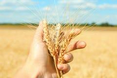 Orecchie della tenuta della donna di grano Immagini Stock Libere da Diritti
