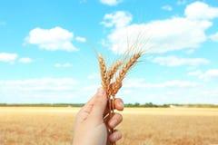 Orecchie della tenuta della donna di grano Fotografia Stock