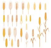 Orecchie delle piante dei cereali messe Immagine Stock
