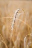 Orecchie di frumento sul campo Fotografia Stock Libera da Diritti