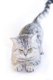 Orecchie di gatto diritte scozzesi Fotografia Stock Libera da Diritti