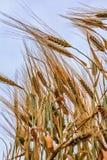 Orecchie di grano immagine stock libera da diritti