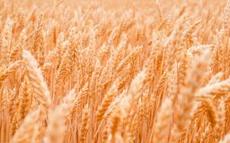 Orecchie di grano Fotografie Stock Libere da Diritti