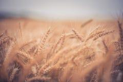 Orecchie di grano Fotografia Stock Libera da Diritti