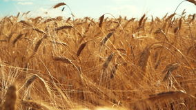 Orecchie di grano all'alba stock footage