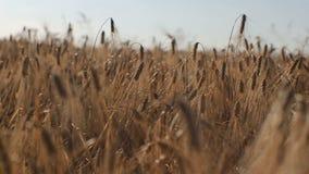 Orecchie di grano all'alba tramonto del grano, fine su Movimento lento Grano al tramonto Belle punte di grano contro il tramonto video d archivio