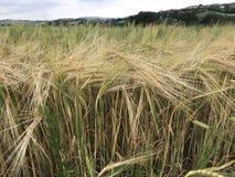 Orecchie di grano asciutto pronte per raccogliere Fotografie Stock