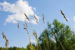 Orecchie di grano contro il cielo blu di estate Fotografia Stock