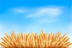 Orecchie di grano davanti a cielo blu. Fotografia Stock Libera da Diritti