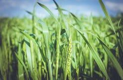 Orecchie di grano di maturazione Prodotto rispettoso dell'ambiente Immagini Stock Libere da Diritti