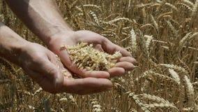 Orecchie di grano a disposizione video d archivio