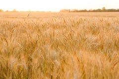 Orecchie di grano dorato sulla fine del campo su Bello paesaggio di tramonto della natura Paesaggio rurale nell'ambito di luce so Fotografie Stock Libere da Diritti