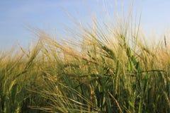 Orecchie di grano e di chiaro cielo blu Fotografie Stock Libere da Diritti