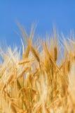 Orecchie di grano maturo immagini stock