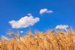 Orecchie di grano maturo fotografie stock