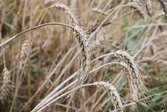 Orecchie di grano maturo Immagine Stock