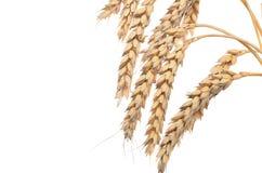 Orecchie di grano maturo su un fondo bianco Concetto di successo Th Fotografia Stock Libera da Diritti