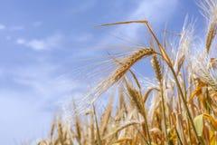 Orecchie di grano maturo su un fondo del cielo fotografia stock