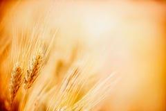 Orecchie di grano maturo sul giacimento di cereale, fine su fotografie stock libere da diritti