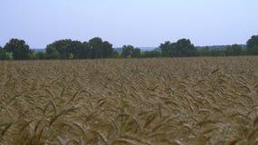 Orecchie di grano nel campo stock footage