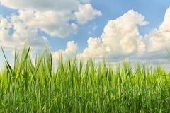 Orecchie di grano, segale Fotografia Stock Libera da Diritti