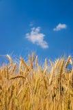 Orecchie di grano su cielo blu Fotografia Stock