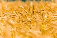 Orecchie di grano sul campo Fotografia Stock