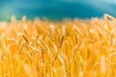 Orecchie di grano sul campo 2 Fotografie Stock Libere da Diritti