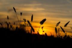 Orecchie di grano sul tramonto fotografia stock libera da diritti