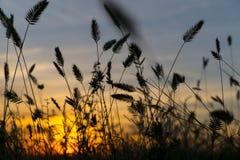 Orecchie di grano sul tramonto fotografie stock