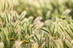 Orecchie di grano sulla natura fotografie stock libere da diritti