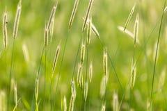 Orecchie di grano sulla natura fotografia stock