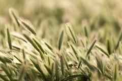 Orecchie di grano sulla natura immagini stock libere da diritti