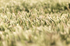 Orecchie di grano sulla natura fotografia stock libera da diritti
