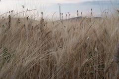 Orecchie di grano in un campo in Provenza fotografia stock