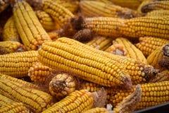 Orecchie di mais, dopo pulizia manuale Fotografia Stock