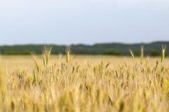 Orecchie di maturazione del campo di frumento Fotografie Stock