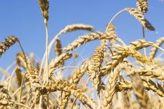 Orecchie di maturazione del giacimento di grano dorato giallo con cielo blu, raccolto di estate, prato rurale Fotografia Stock Libera da Diritti