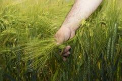 Orecchie di maturazione del grano della tenuta dell'agricoltore Fotografia Stock