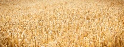 Orecchie di maturazione di grano o di segale come fondo, agricoltura e concetto ricco del raccolto Immagini Stock Libere da Diritti