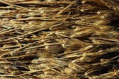 Orecchie di orzo Fotografia Stock Libera da Diritti