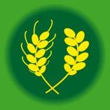 Orecchie di orzo e di grano in anello su fondo verde Fotografia Stock