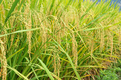 Orecchie di riso fotografie stock libere da diritti