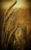 Orecchie di Rye, priorità bassa della natura Fotografia Stock