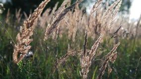 Orecchie dorate che ondeggiano nel vento stock footage