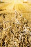 Orecchie dorate dei raccolti di grano dopo la raccolta Fotografie Stock Libere da Diritti