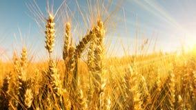 Orecchie dorate del grano nei raggi di sole luminosi Fotografia Stock