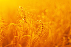 Orecchie dorate del grano nel campo Immagine Stock Libera da Diritti