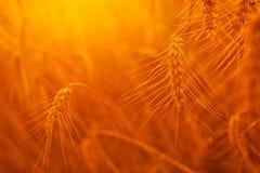 Orecchie dorate del grano nel campo Immagine Stock